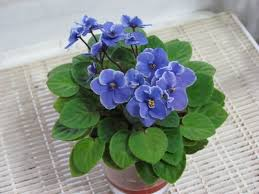 african violets saintpaulia genus actually will flower with indoor lighting but they need a lot of it if your lights are turned on sixteen hours a day best office plants no sunlight