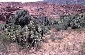 Chamaerops humilis - Palmpedia - Palm Grower's Guide