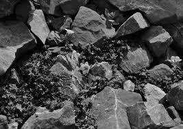 -Papaveretum rhaetici with Arabis caerulea and Saxifraga ...