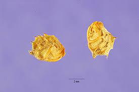 Plants Profile for Onobrychis viciifolia (sainfoin)