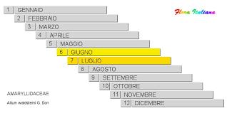 Allium waldsteinii [Aglio di Waldstein] - Flora Italiana