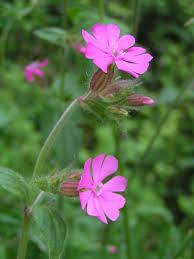 Caryophyllaceae - Wikipedia