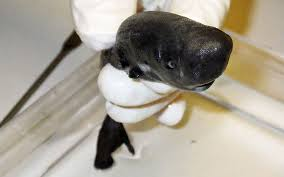 Adorable Shark <b>Fits in Your Hand</b>, Looks Like a Mini Sperm Whale ...