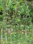 vigna unguiculata sesquipedalis