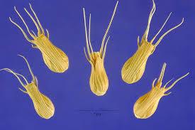 Aegilops ventricosa - SEINet Portal Network