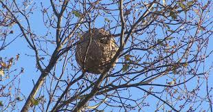 Vila Nova de Cerveira destruiu até outubro 135 ninhos de vespa asiática