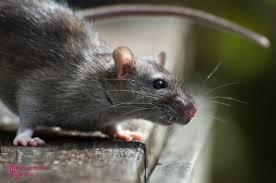 """Résultat de recherche d'images pour """"souris deratisation"""""""