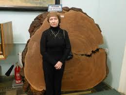 <b>Срез</b> дерева - <b>Изображение</b> Центральный музей ...