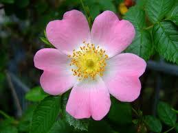 Dog-rose