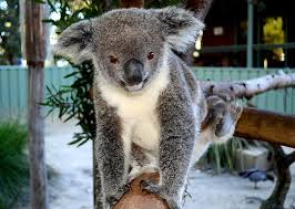 <b>Koala</b> Questions
