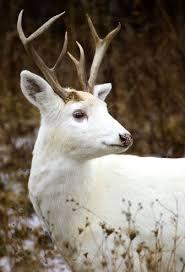 The <b>White Deer</b> of the Senecas | Животные, Фотографии лошадей ...