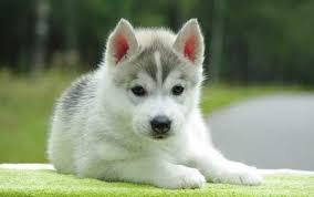 صور كلاب هاسكي -اجمل صور كلاب الهاسكي