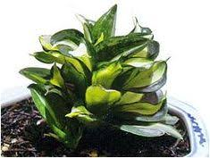 <b>100 Pcs Colorful</b> Sansevieria Bonsai Potted Balcony Indoor Flowers ...