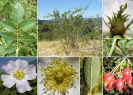 Rosa agrestis Savi - Sistema informativo sulla flora vascolare del ...