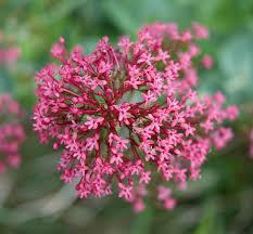 Centranthus ruber - Wikipedia