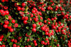 Cotoneaster Plant Care - Information On Growing Cotoneaster Shrubs