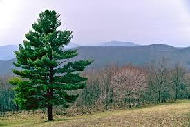 Image result for short leaf pine tres