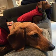 Image result for bored dachshunds