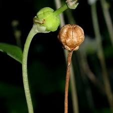 Moneses uniflora (one-flowered-shinleaf, single delight): Go Botany