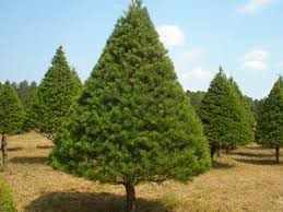 Image result for virginia pine tree