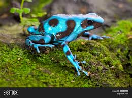 Image result for poison dart frog adaptations