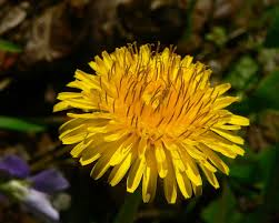 <b>dandelion</b> - Taraxacum