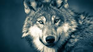 <b>Серый волк</b> из Монголии прошёл рекордные 7247 км за один год ...