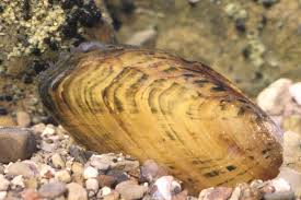 Cracking pearlymussel