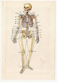 vintage anatomical prints medical diagrams by fromeuropewithlove vintage anatomical prints  medical diagrams skull skeleton book illustrations anatomy art print paper ephemera