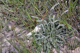 Plantago albicans L. - Encyclopedia of Life