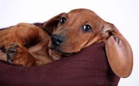 Image result for dachshunds images