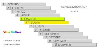 Lonicera etrusca [Caprifoglio toscano]