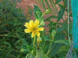 Guizotia abyssinica - Wikipedia