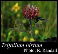 Trifolium hirtum All.: FloraBase: Flora of Western Australia