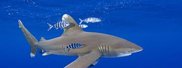 shark species wwf whitetip shark