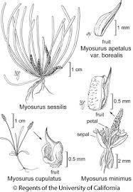 Myosurus minimus