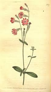 Silene bellidifolia – Wikipedia