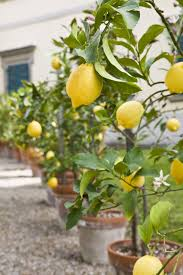 lemon tree x: attractive indoor apple tree  growing lemon trees in containers