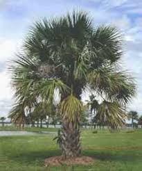 Amazon.com : 10 SABAL PALM TREE Cabbage Palmetto Seeds ...