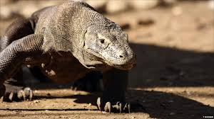 Image result for pictures of giant komodo dragons