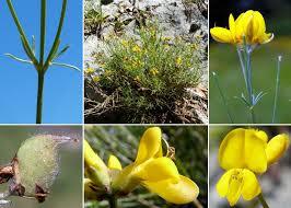 Genista radiata (L.) Scop. - Portale sulla flora del Parco Naturale ...