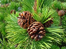 Image result for pine tree images