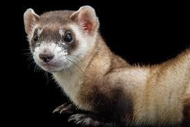 Saving Endangered Ferrets … With <b>Peanut</b> Butter