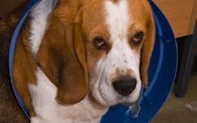 Bilderesultat for guilty dogs