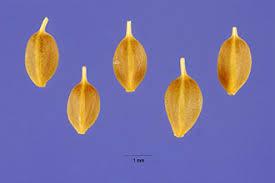 Plants Profile for Carex rostrata (beaked sedge)