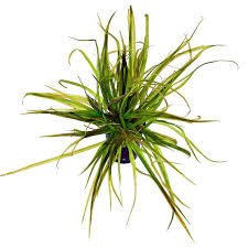 Blyxa japonica - Bunch - Aquasabi