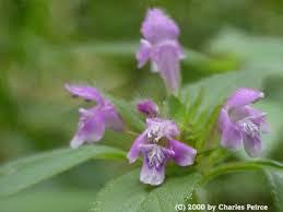 Galeopsis tetrahit - Michigan Flora
