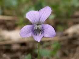 Viola canina – Wikipédia, a enciclopédia livre