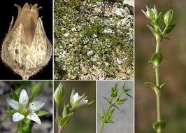 Arenaria serpyllifolia L. subsp. serpyllifolia - Portale sulla flora del ...