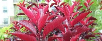 <b>Purple</b> Leaf <b>Sand</b> Cherry Prunus x cistena